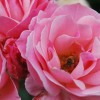 A bee inside a flower